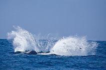 Sperm whale breach Kalpitiya