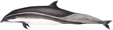 Fraser's dolphin, Lagenodelphis hosei