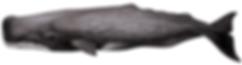 Sperm whale, Physeter macrocephalus