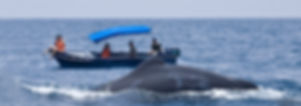 Sperm whale watching in Kalpitiya