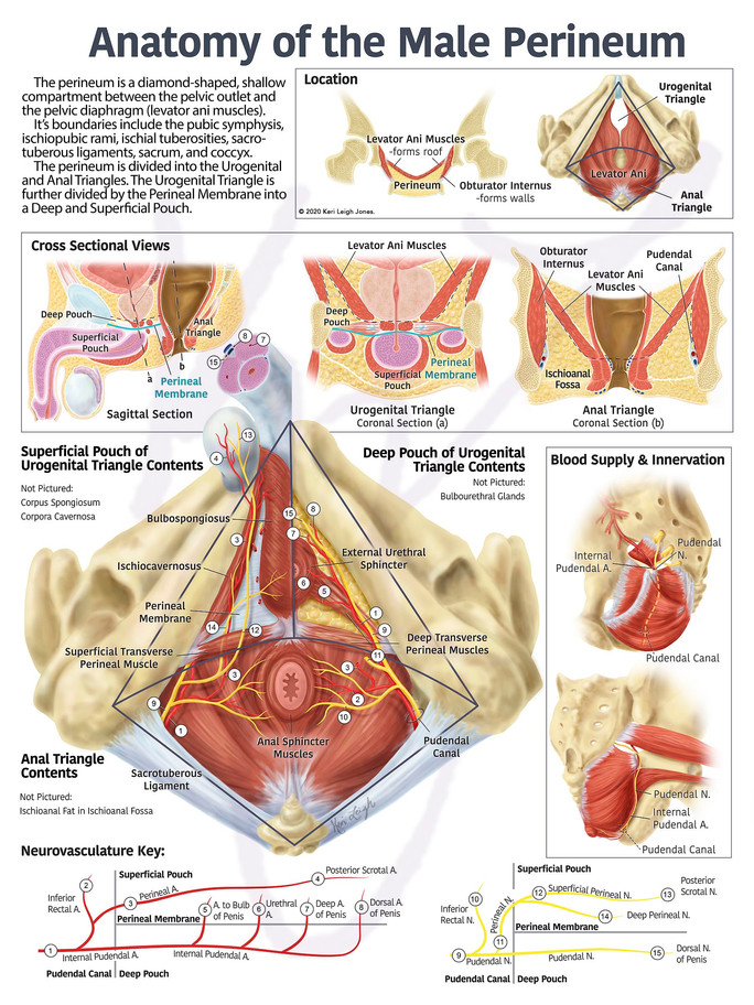 Anatomy of the Male Perineum