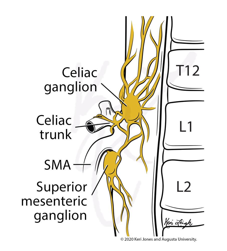 Celiac Plexus Anatomy