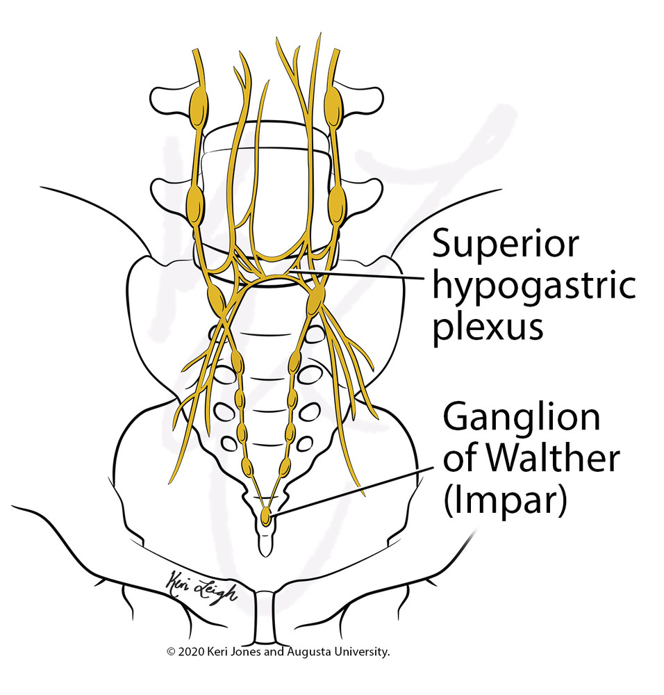 Superior Hypogastric Anatomy