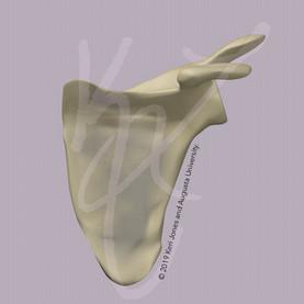 Left Scapula Anterior