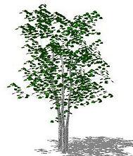 summer-birch-tree-sketchup-warehouse_edi