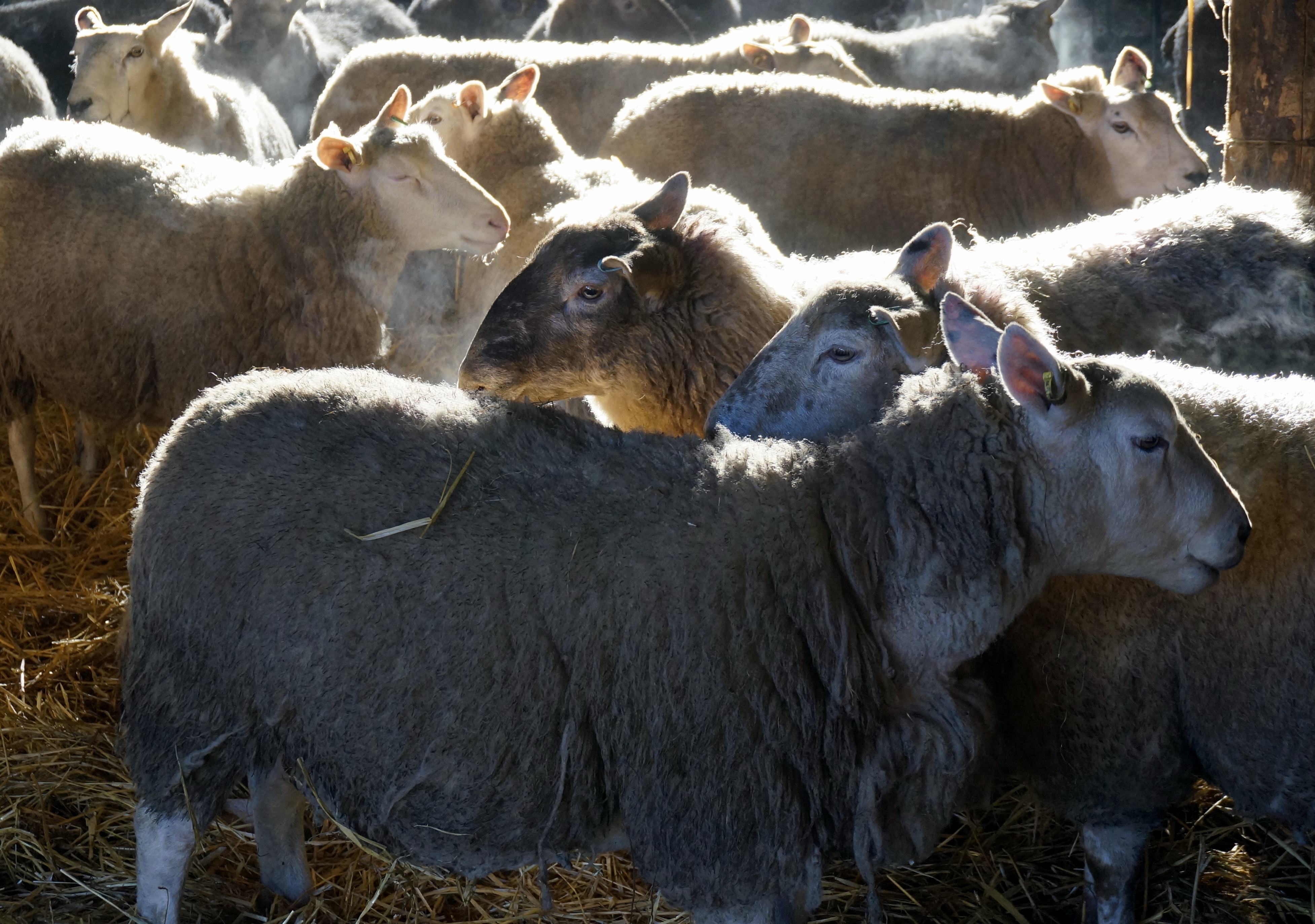 ewes in the barn