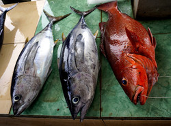 Tuna and Rock Cod or Grouper (possibly Vermillion or Strawberry)