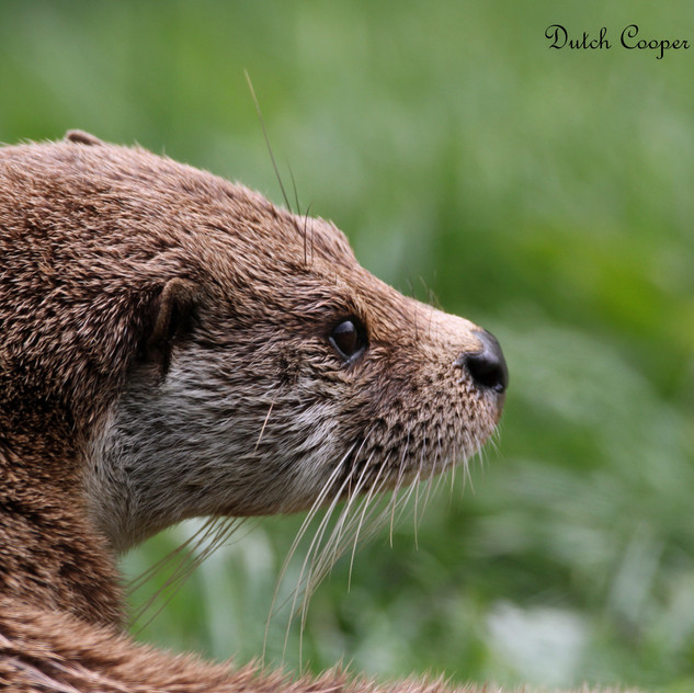 Otter, Dutch Cooper Photography