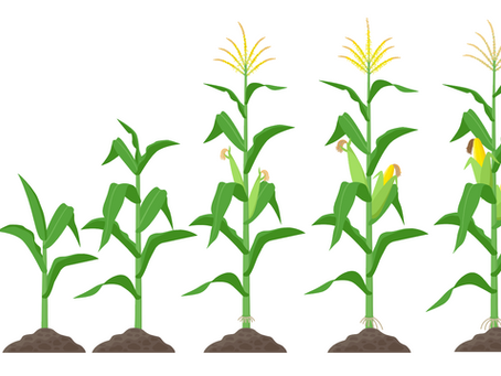 Learn How to Growth Stage Your Crops