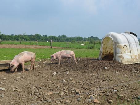 Pas de béton pour nos cochons !