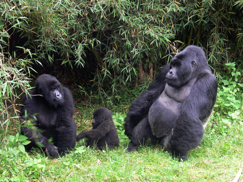 Gorilla Tracking |bwindi National park