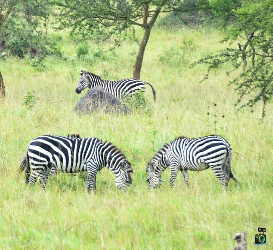 Zebras   Queen Elizabeth Park   Wild troopers