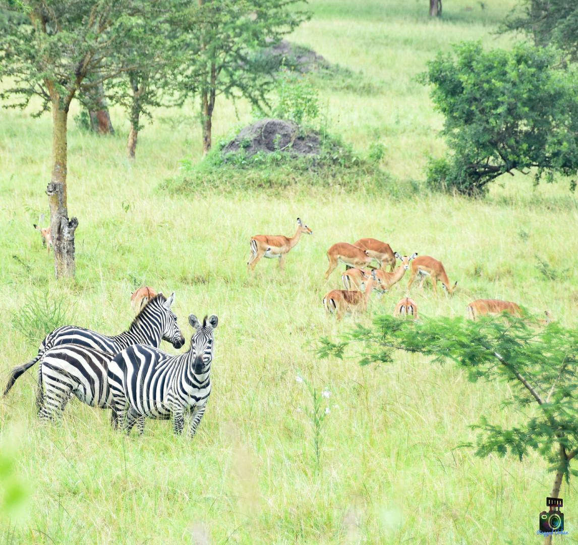 Zebras | Queen Elizabeth Park | Wild troopers