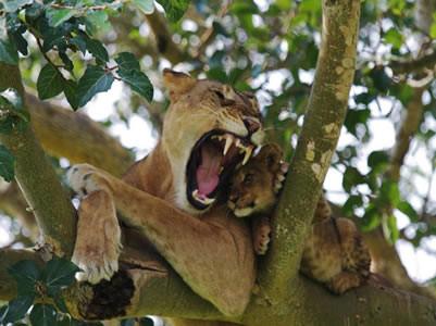 hungry-tree-climbing-lion.jpg