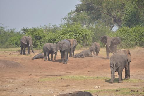 Elephants | Queen Elizabeth national park | Wild Troopers
