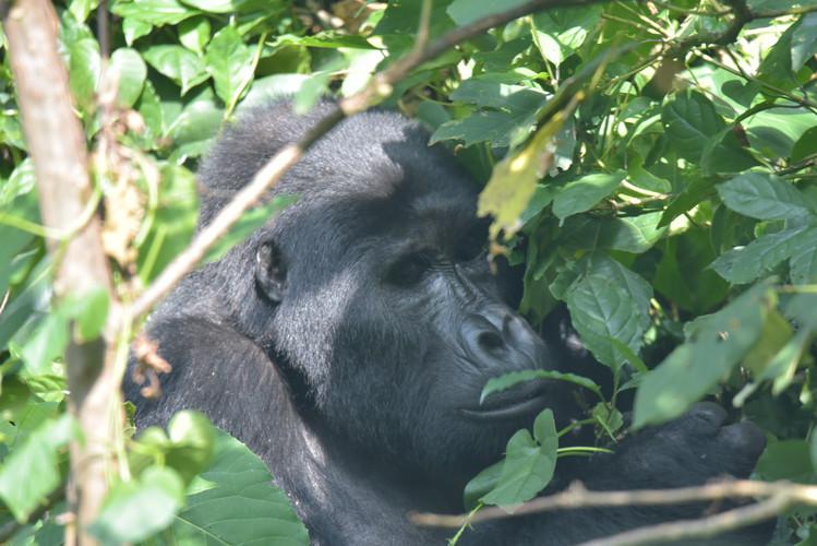 Gorilla Tracking  bwindi National park