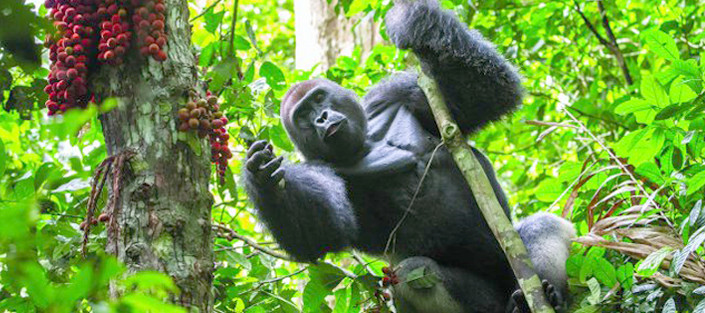 3-Days-Gorilla-tracking-Bwindi-Impenetra