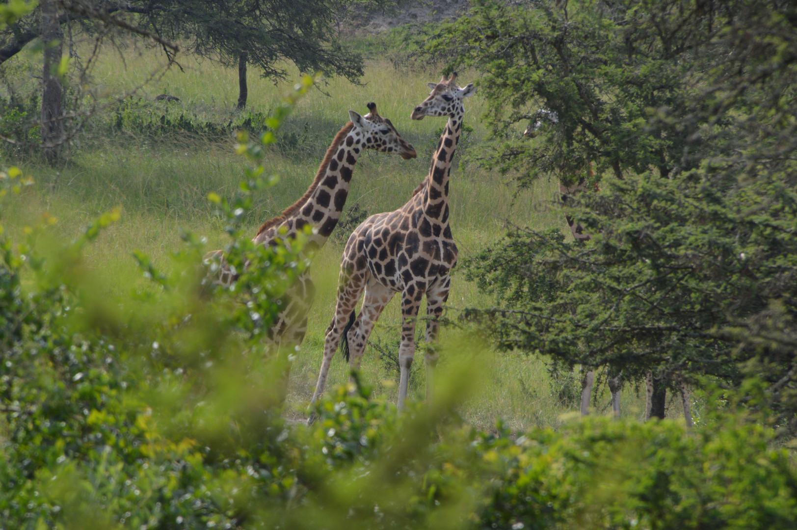 Giraffes | Queen Elizabeth Park | Wild Troopers
