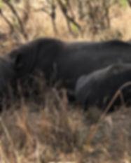 Rhinos Murchison.jpg
