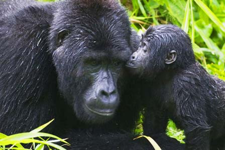 2-days-gorilla-tracking-bwindi-giant.jpg
