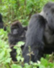 mountain-gorilla-silverback.jpg