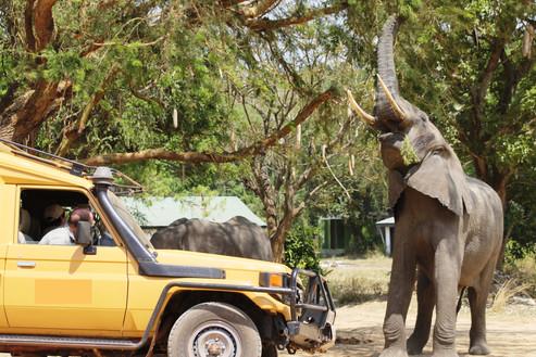 Elephant and vehicle MFNP (1).JPG