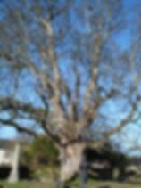 Champion Tree, Veteran, Beauly