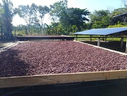 Proyecto de AGROSAVIA y Fedecacao cerrará las principales brechas del sector cacaotero en Arauca