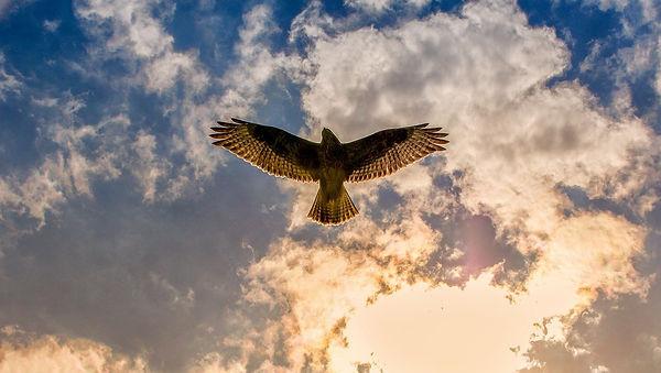 buzzard-3743247_1280.jpg
