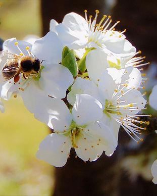 apple-blossom-4086202_1920.jpg