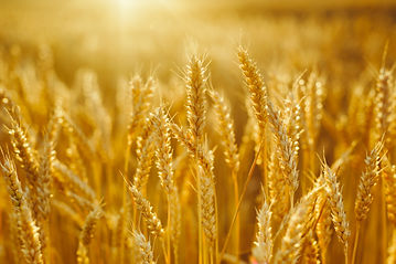 ripe wheat field.jpg