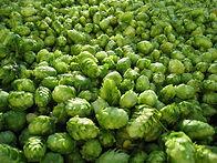 hop geeft aroma aan het bier