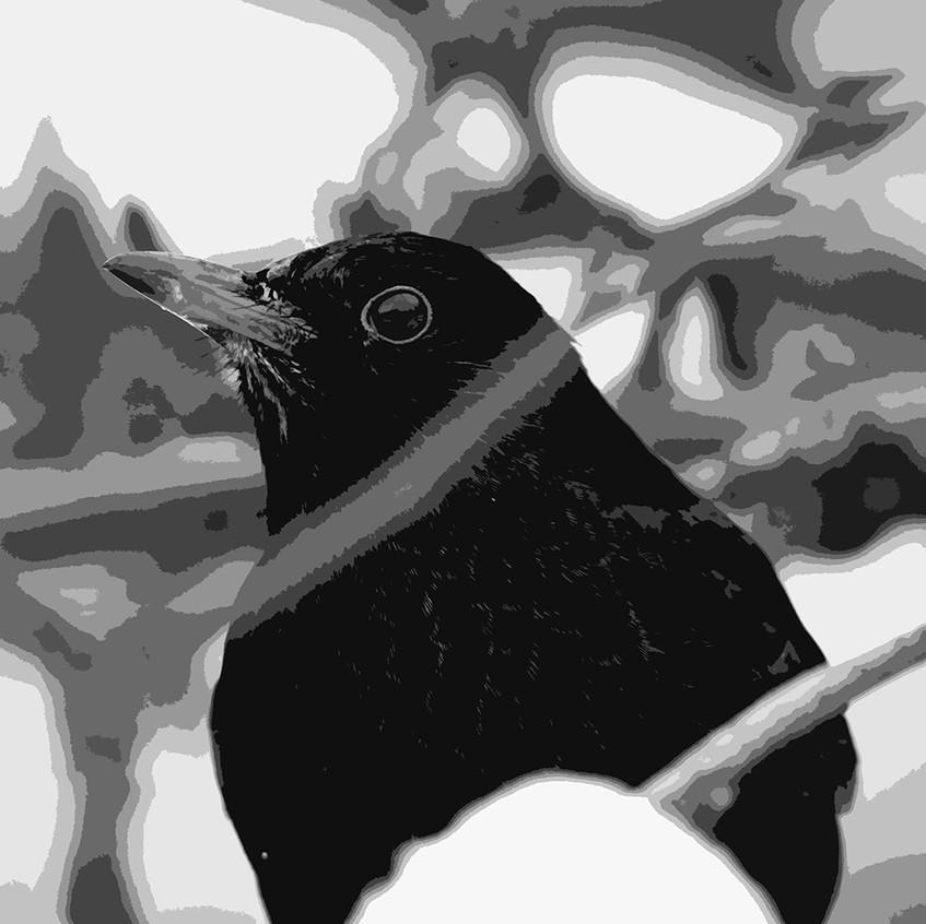 animal-black-blackbird-1723592