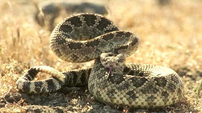 Snake Avoidance Training for Dogs
