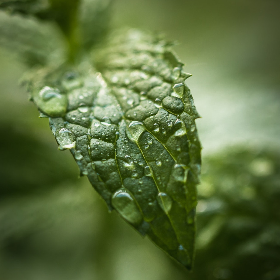 Peppermint Leaf.jpeg