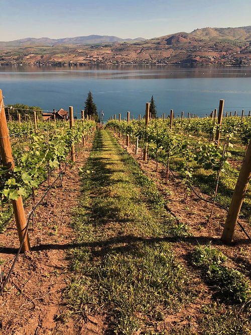Rows of young grapes recede toward lake chelan