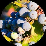 'oregon grape.png