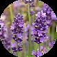 'lavender.png