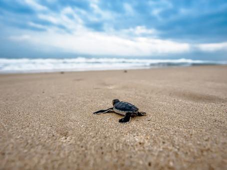 Birth of sea turtles • Lamu