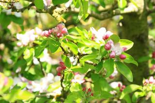 Sunlit pink blossom.JPG