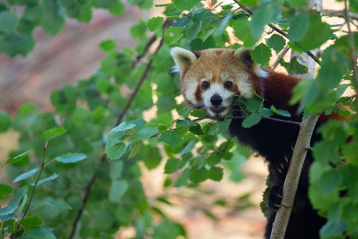 Bristol Zoo - JJ-Red-Panda-Shifumi-[07.1