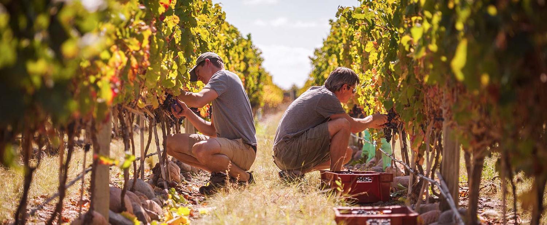 The vines (1)