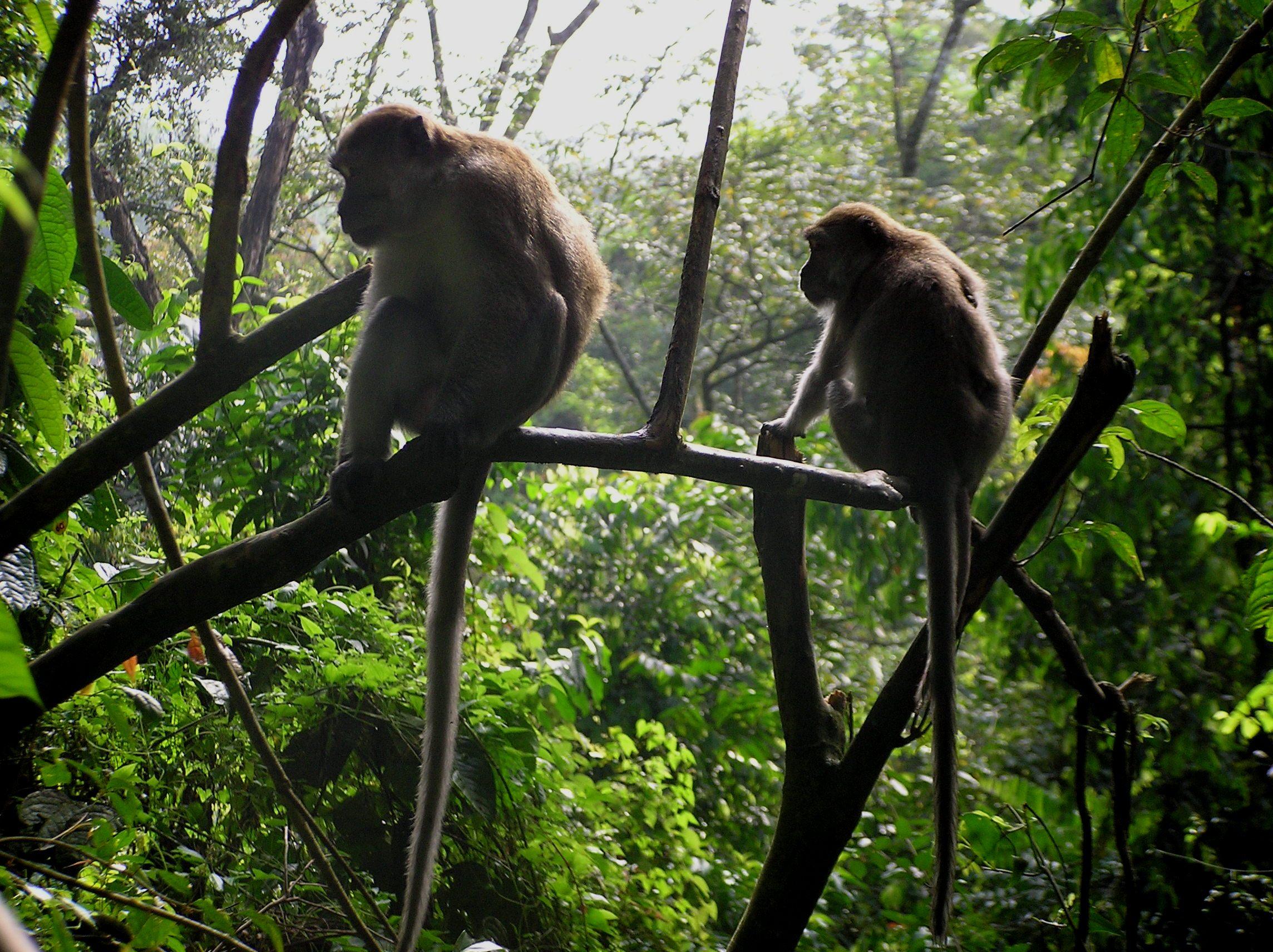 Long Tailed Monkey