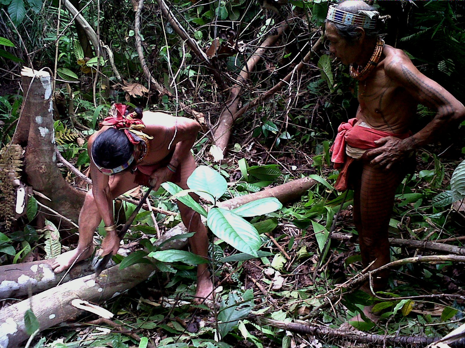 Mentawai Tribe Looking For Sago 3