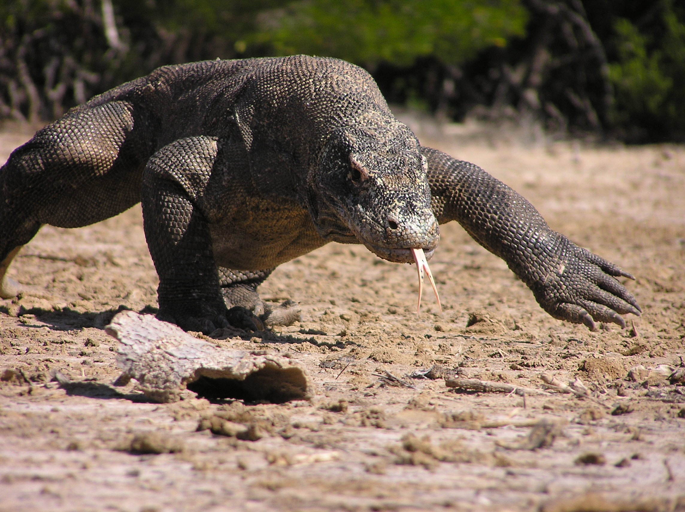 Komodo Dragon running