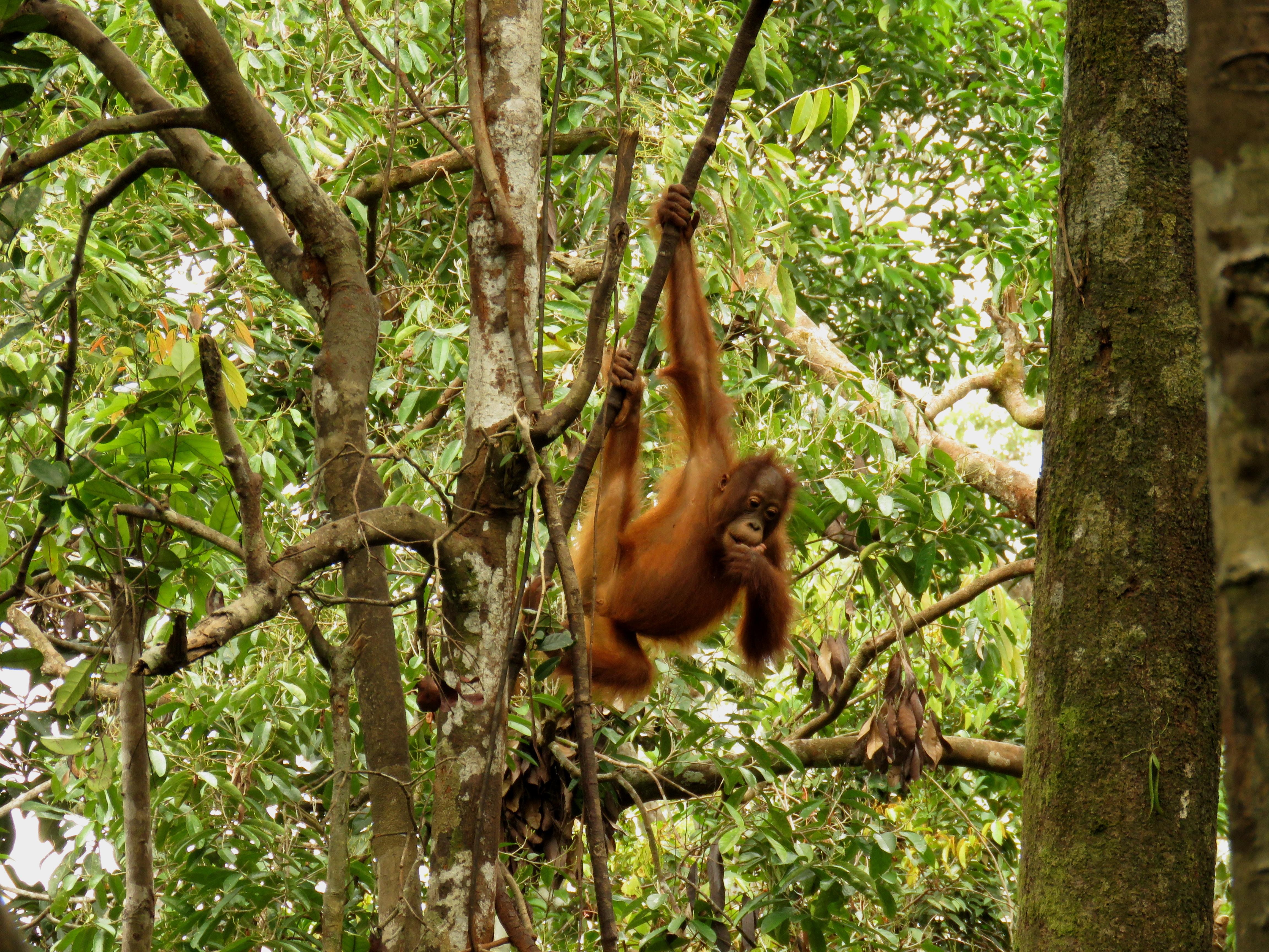 Adolescent Orangutan7