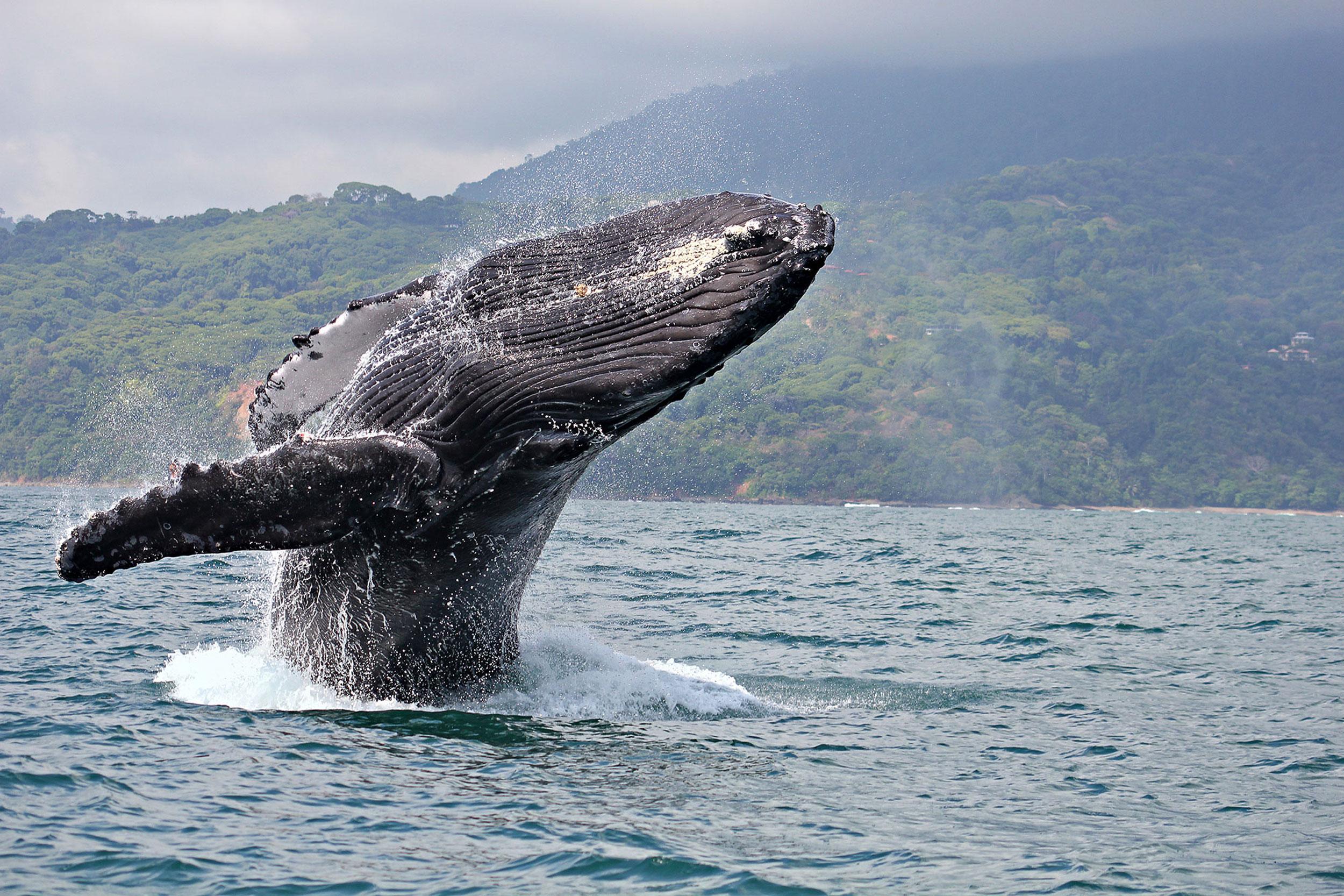 tamarindo-whale