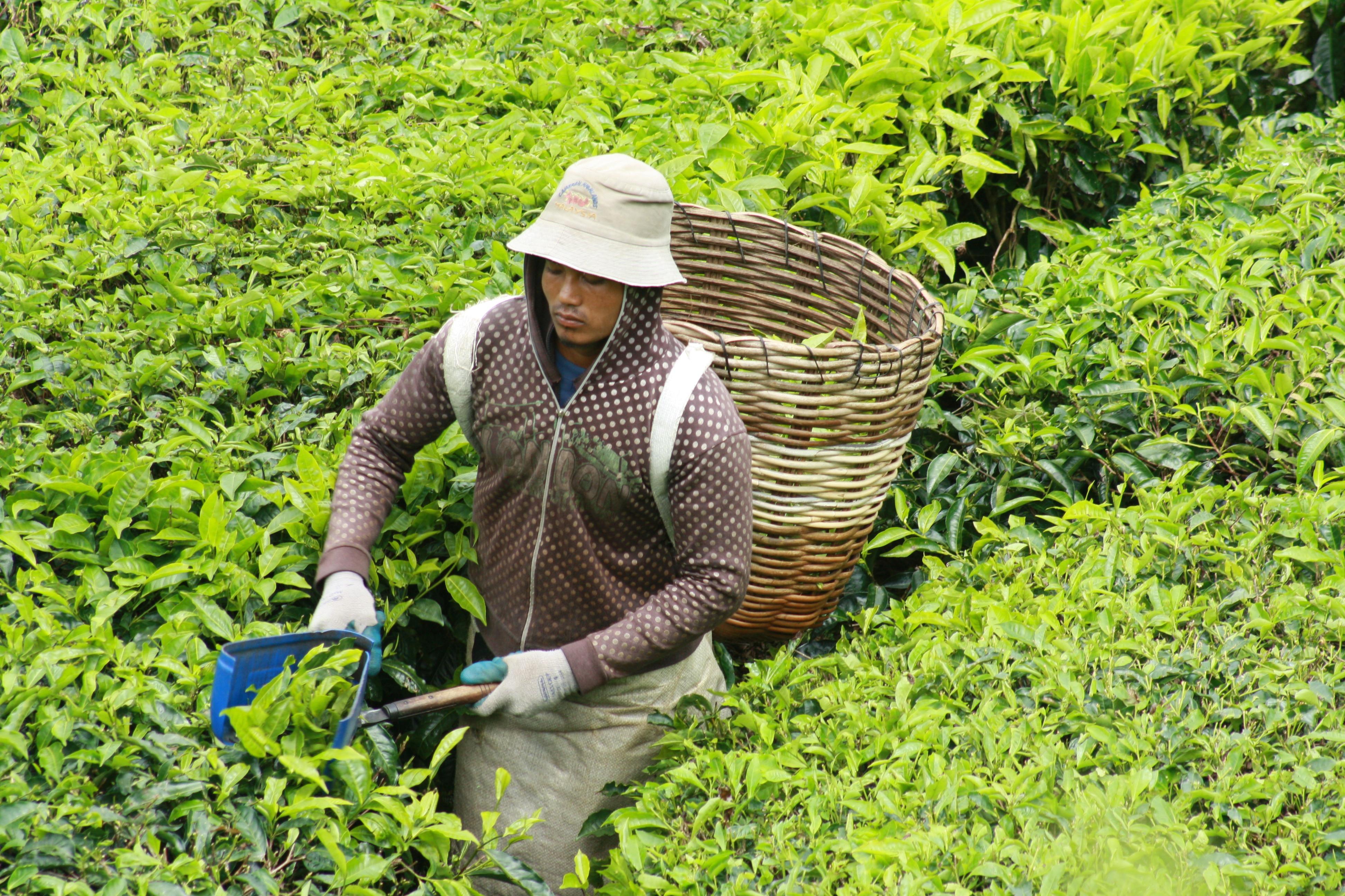 tea-picker-cameron-highlands-malaysia