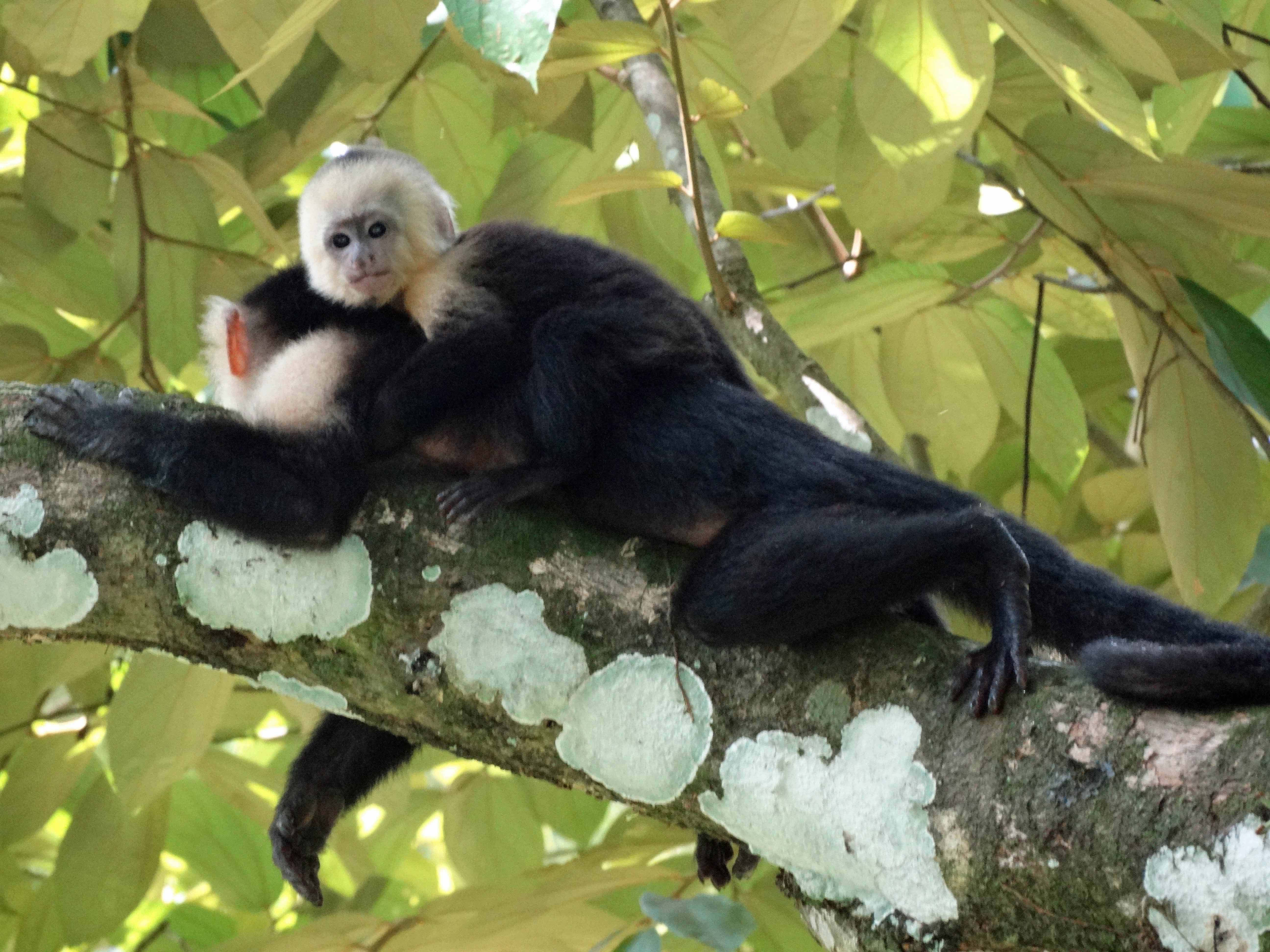 capuchin-white-faced-monkey-and-baby1