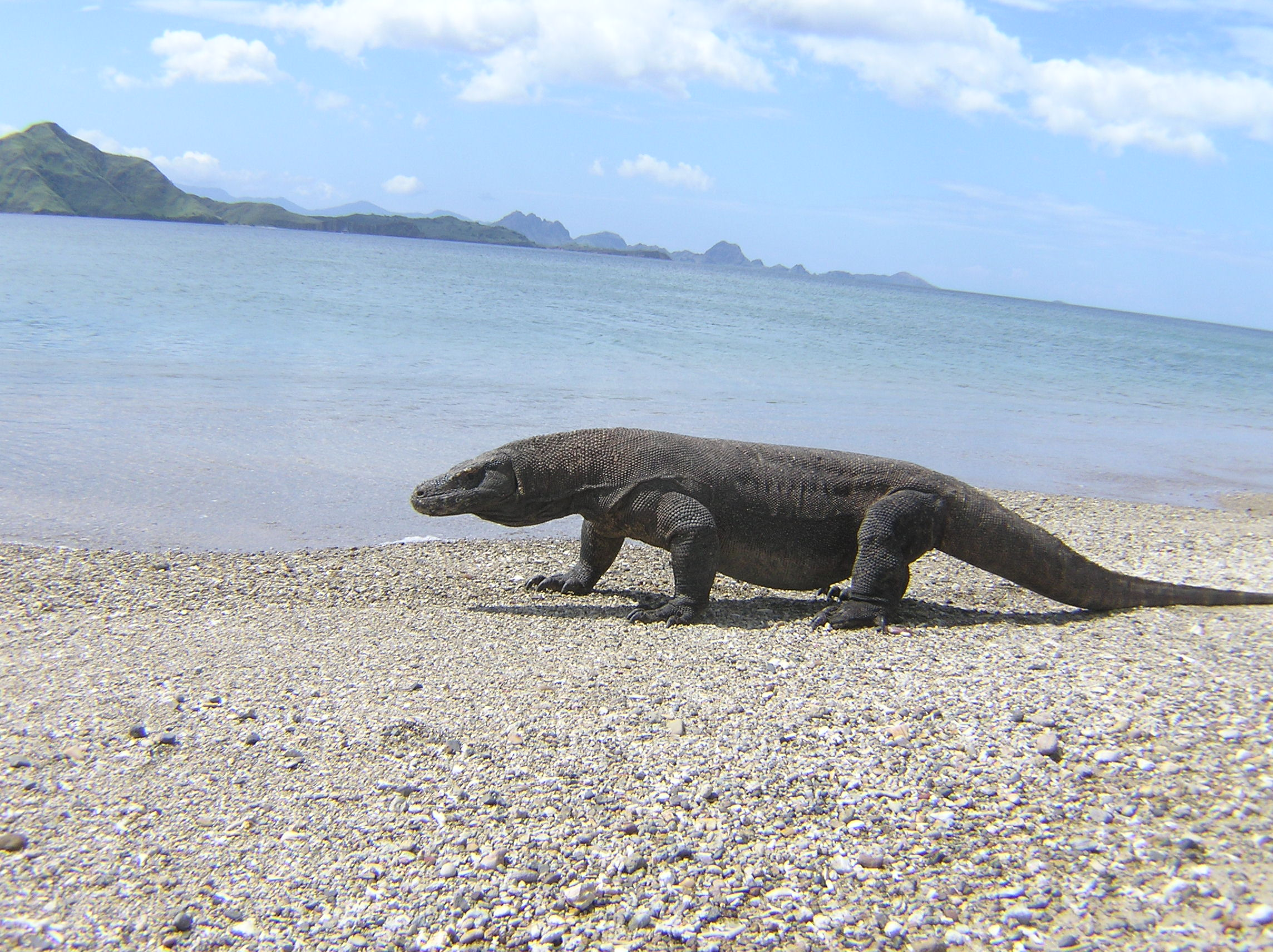 Komodo on the beach - Komodo Island  7